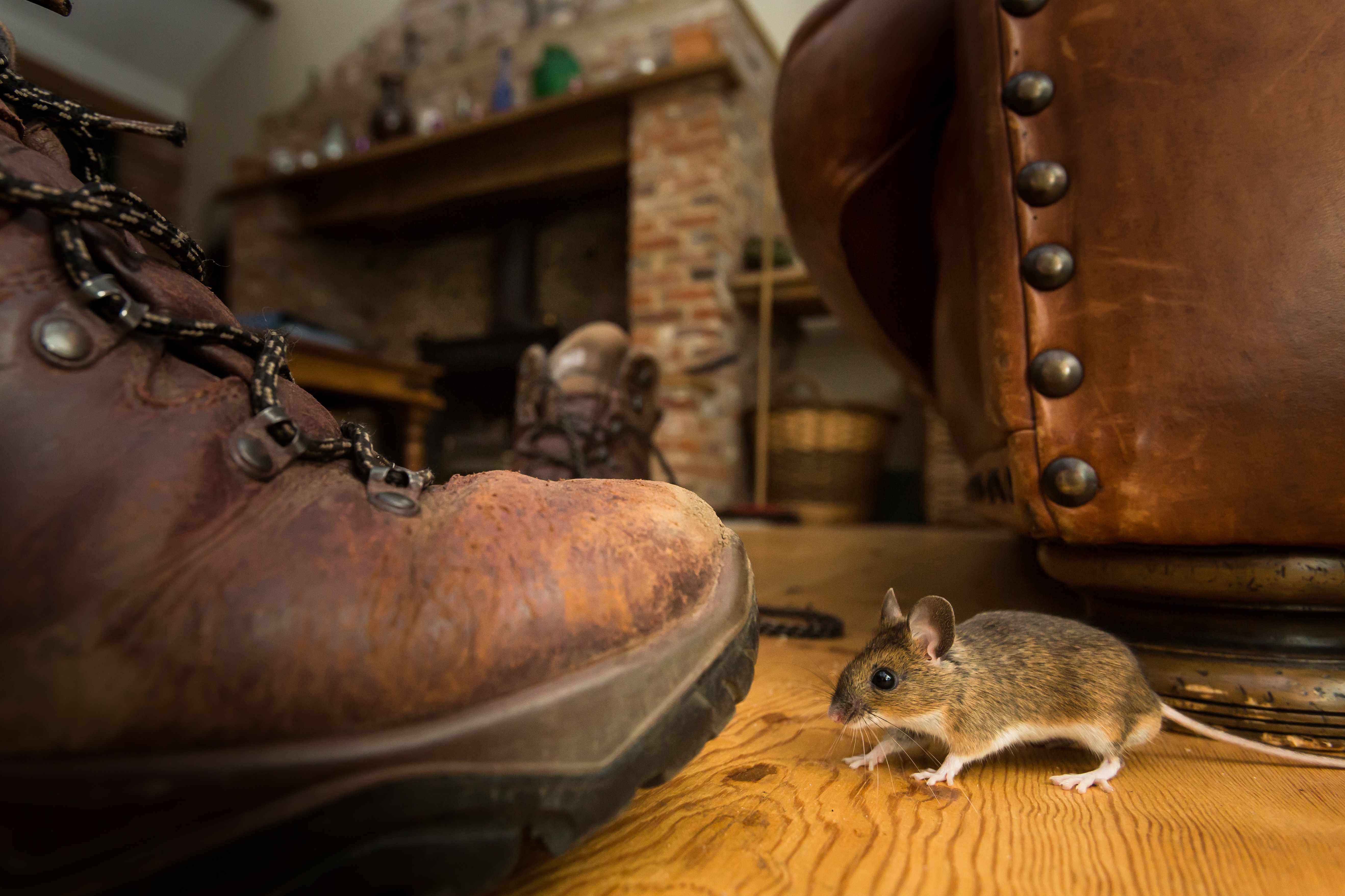 A mouse indoors © Damien Kuzdak / Getty