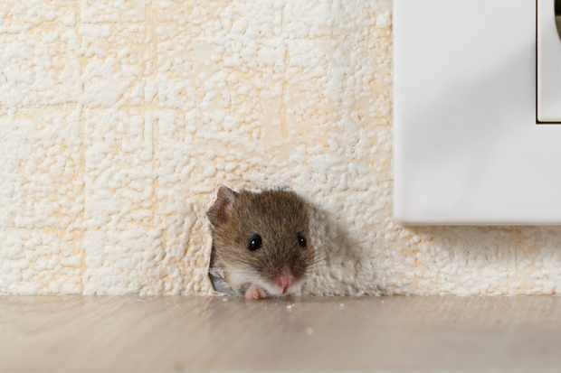 A house mouse by a plug socket © tenra / Getty