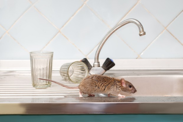 Closeup young rat (Rattus norvegicus) prowls on the sink at kitchen on background of two faceted glasses.