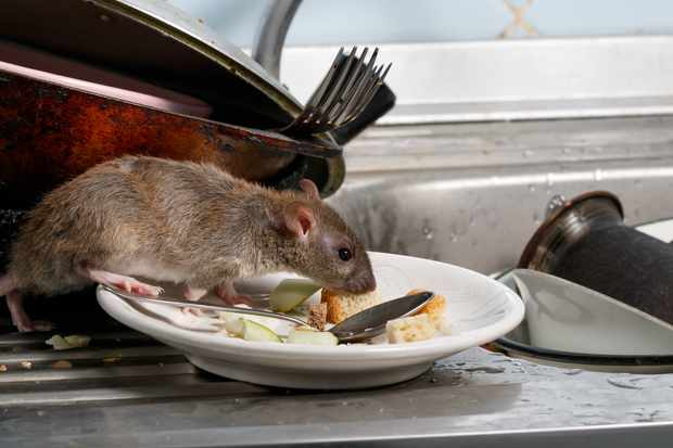 A brown rat sniffs leftovers on a plate in the kitchen © tenra / Getty