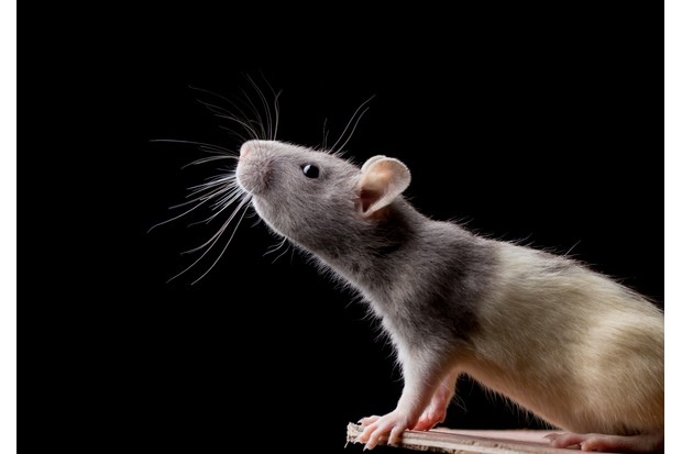 A pet rat with very visible whiskers