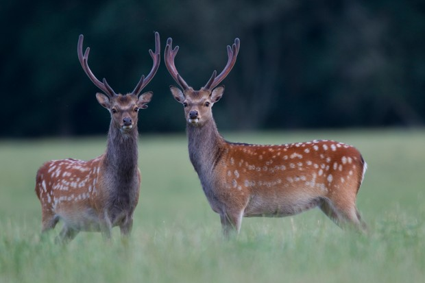 Two sika deer stags with velvet antlers