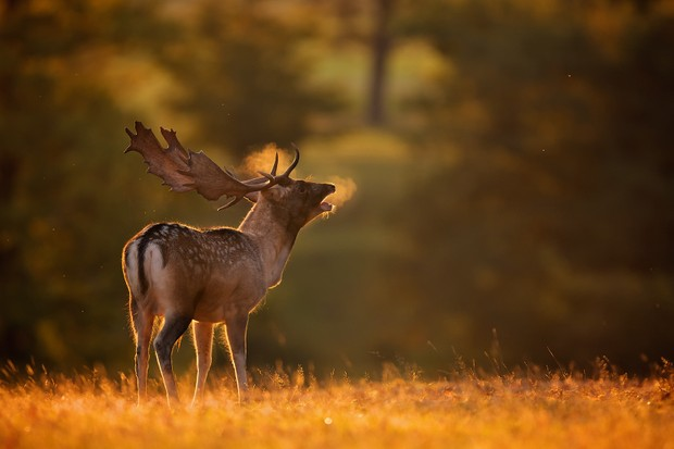 Fallow deer buck calling for the female deer at sunrise, with its breath lit up in the golden light from behind