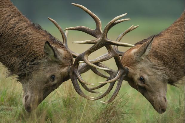 Red deer stags (Cervus elaphus) locking antlers during the rutting season