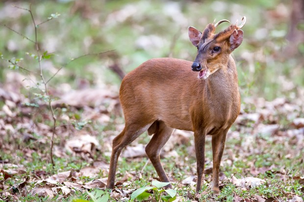 Muntjac aka barking deer