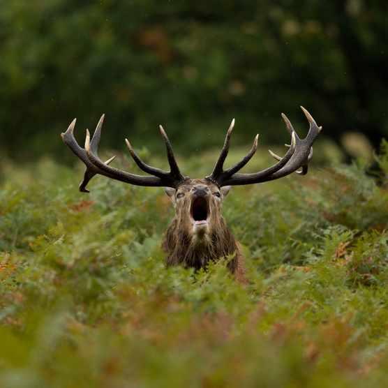 Bellowing red deer (Cervus elaphus) stag