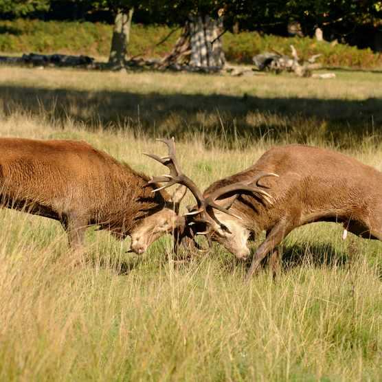 Red deer (Cervus elaphus) stags fighting during the rut