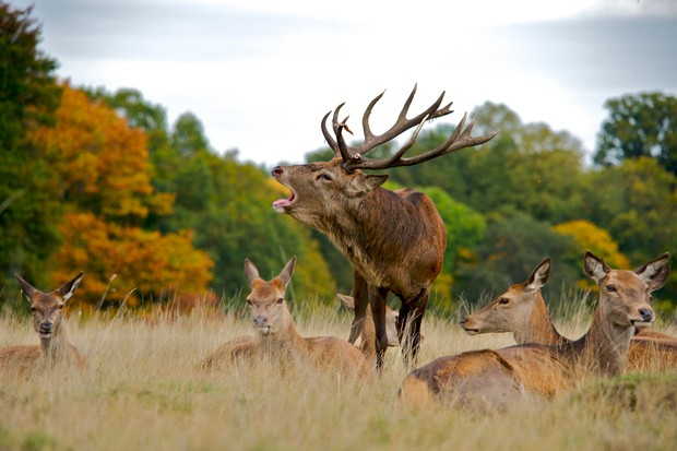 Red Deer stag bellowing while surrounded by his harem of females
