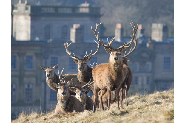 Red deer stags in front of the publicly owned historic property of Lyme Park in the UK.
