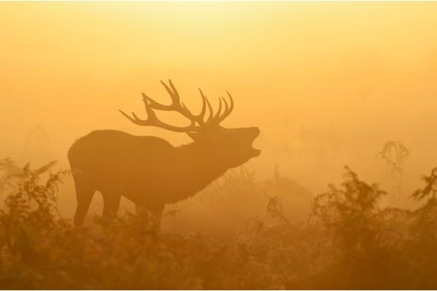 Red deer stag (Cervus elaphus) bellowing in mist at sunrise