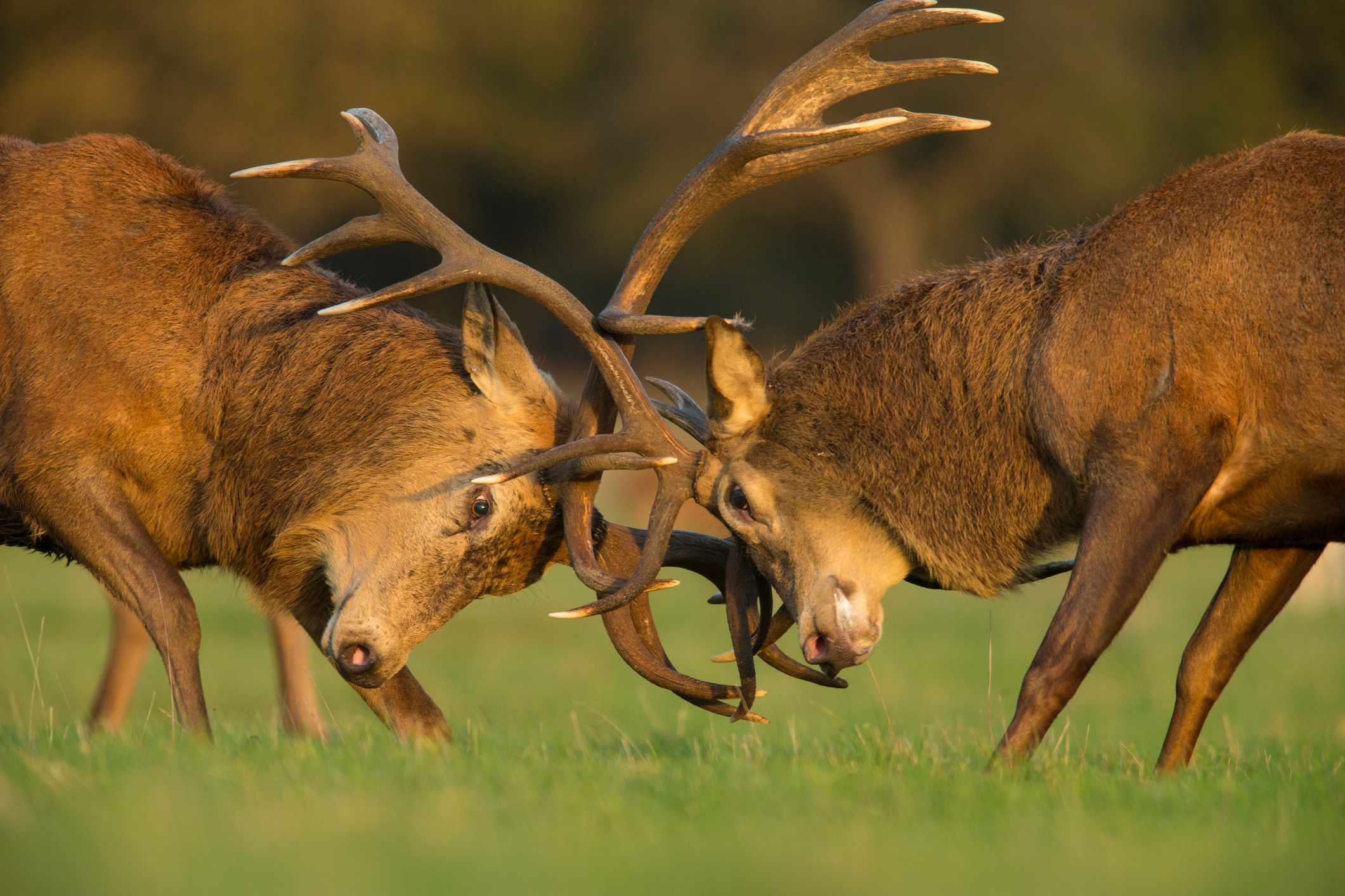 Red deer stags fighting during the rutting season. Taken in the late afternoon light.