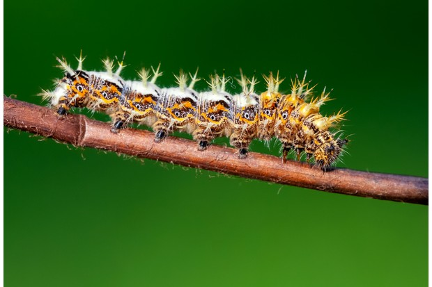 Comma butterfly caterpillar (Polygonia c-album)