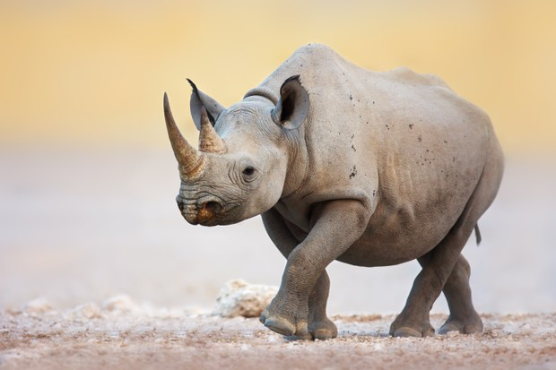 Black Rhinoceros (Diceros bicornis) walking on the salty plains of Etosha National Park, Namibia