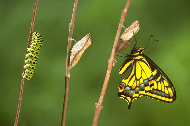 Stages of swallowtail butterfly/caterpillar metamorphosis