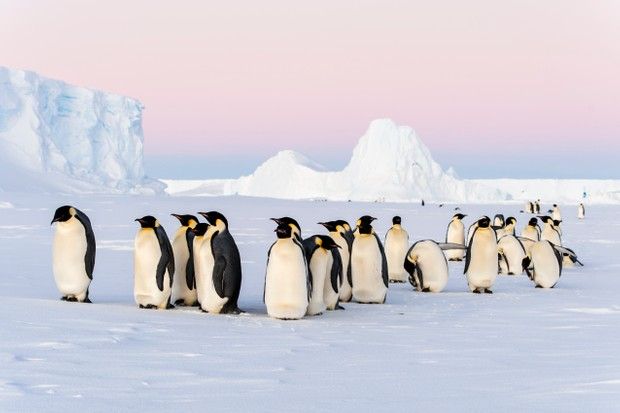 Group of emperor penguins standing on the sea ice in front of icebergs in Antarctica