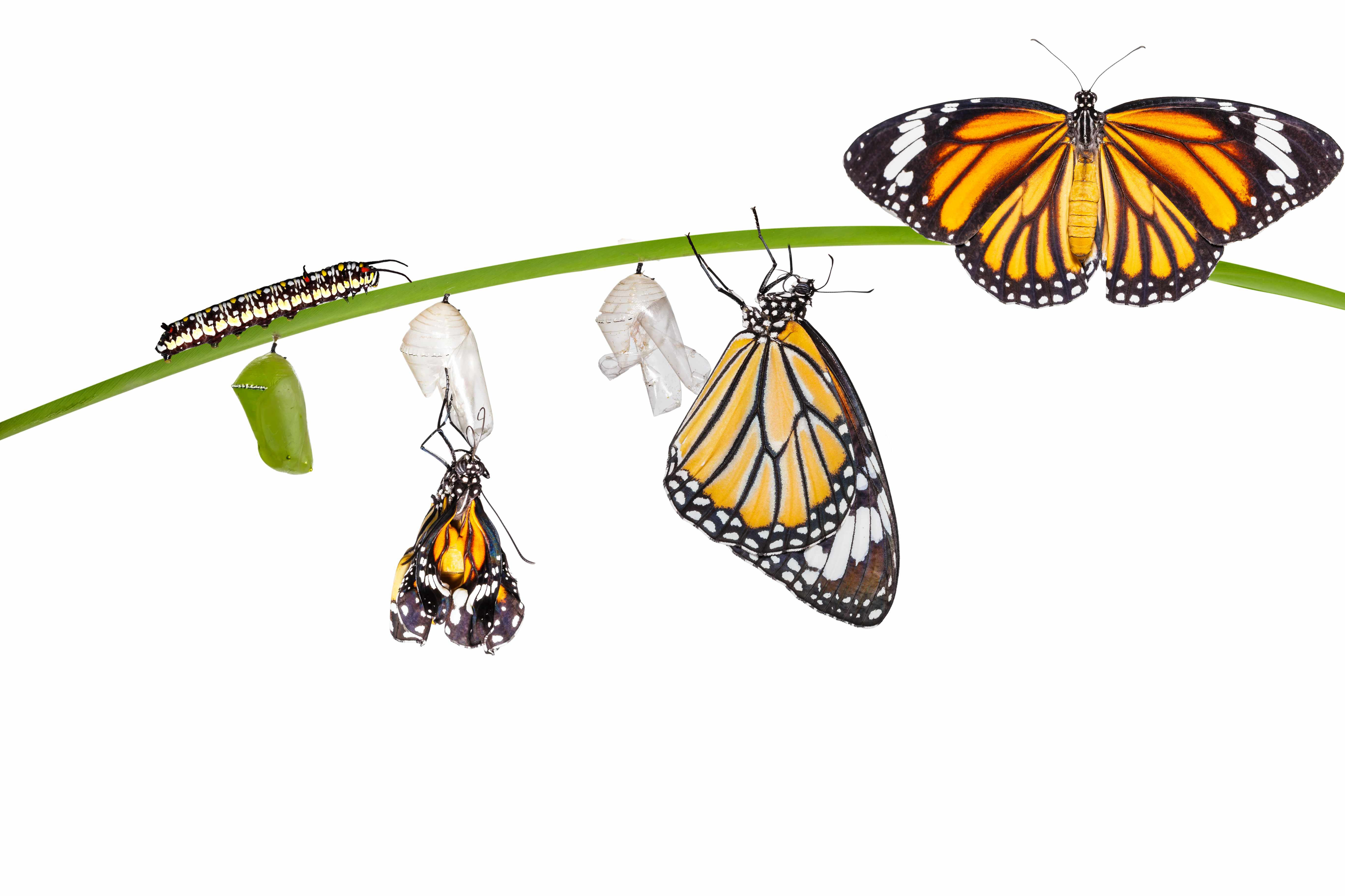 Caterpillar turning into a butterfly process. Caterpillar life cycle. © Mathisa S/Getty