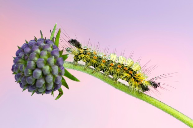 Rusty tussock moth caterpillar on foodplant with a light purple-pink background