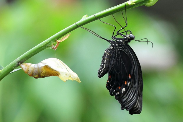 A mostly black butterfly just emerged from chrysalis before its first flight
