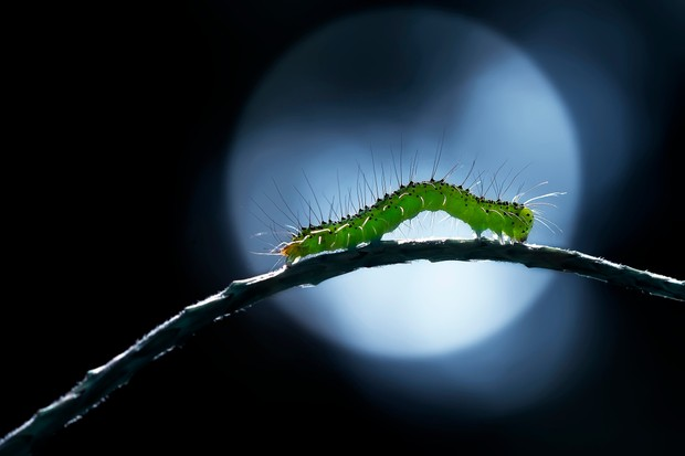Caterpillar feeding at night in front of moon