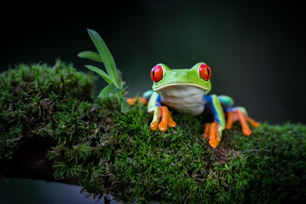 Red-eyed Tree Frog (Agalychnis callidryas) on mossy branch