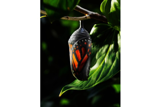Monarch butterfly chrysalis with the butterfly almost ready to emerge