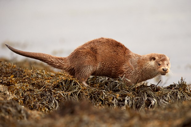 A European Otter (Lutra lutra) surrounded by seaweed