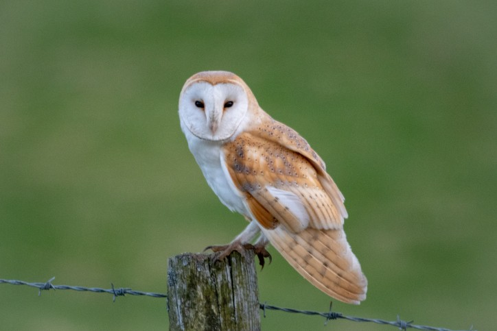 Perched barn owl © Gareth Nixon/Getty