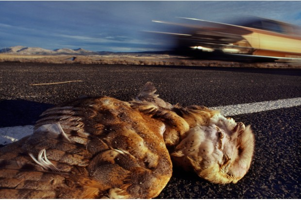 Barn owl dead after car collision, Tyto alba