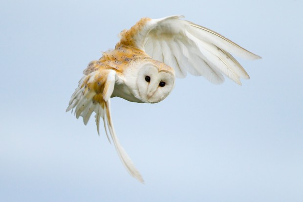 Close up of a barn owl in flight during the day time (Tyto alba)
