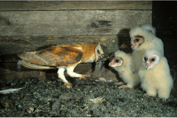 Baby barn owls being fed a mouse by a parent