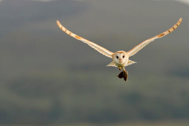Barn Owl (Tyto alba) in flight carrying its prey