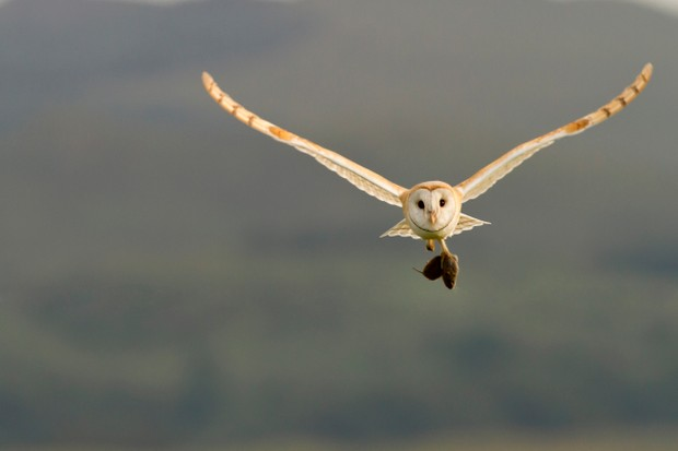Barn Owl (Tyto alba) in flight carrying its prey