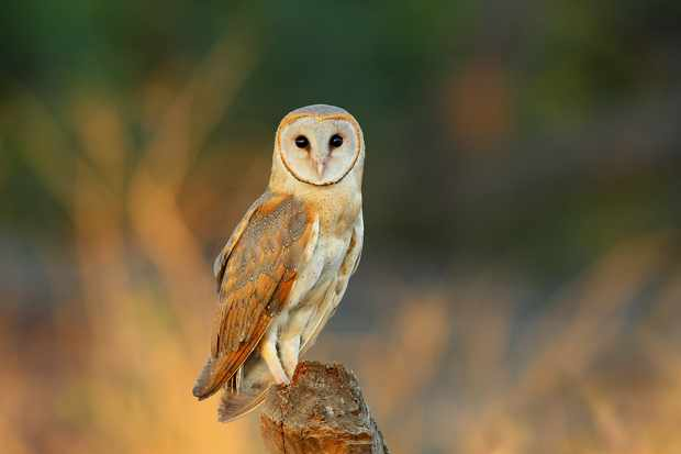 Barn owl (Tyto alba) perched on post in field