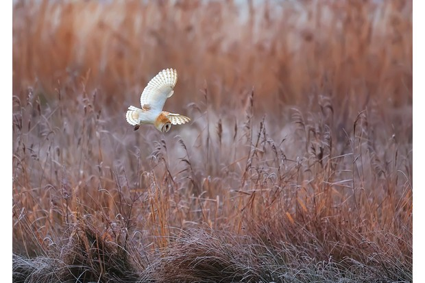 Barn owl flying over typical winter habitat in Norfolk