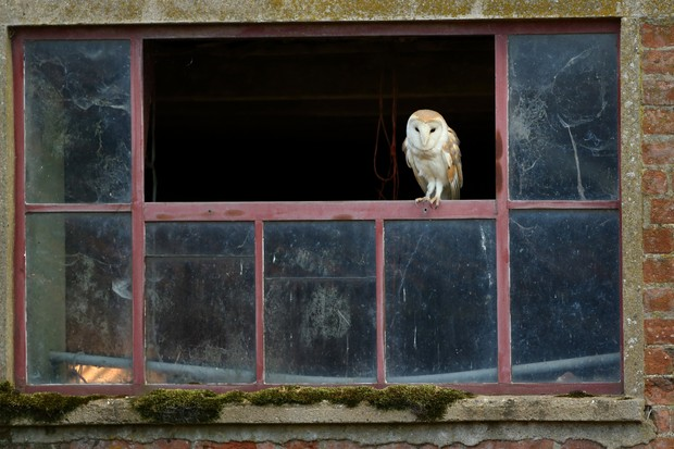 Barn owl in the window of a barn, getting ready to hunt.
