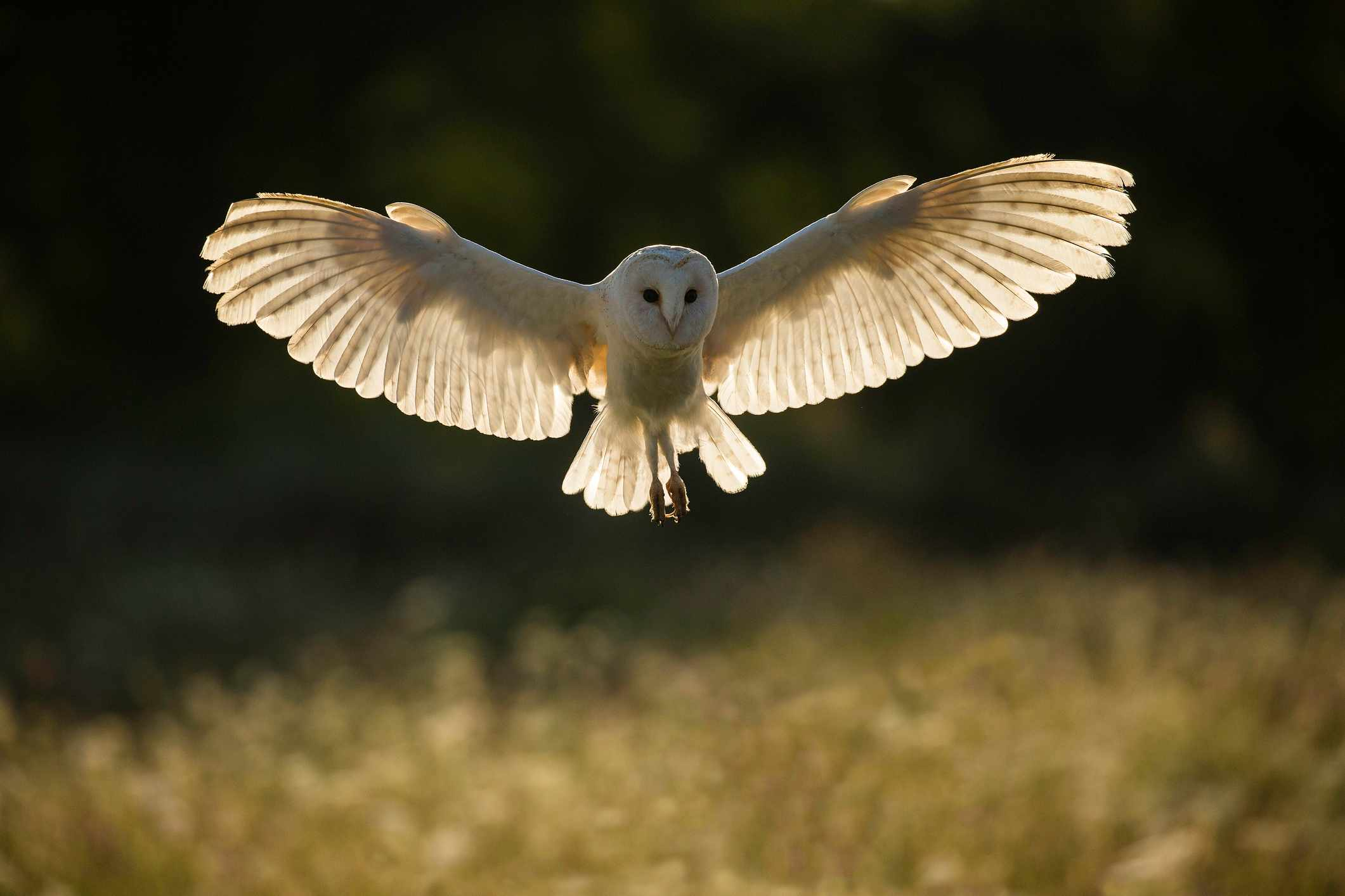 Barn owl (Tyto alba) in flight at sunset