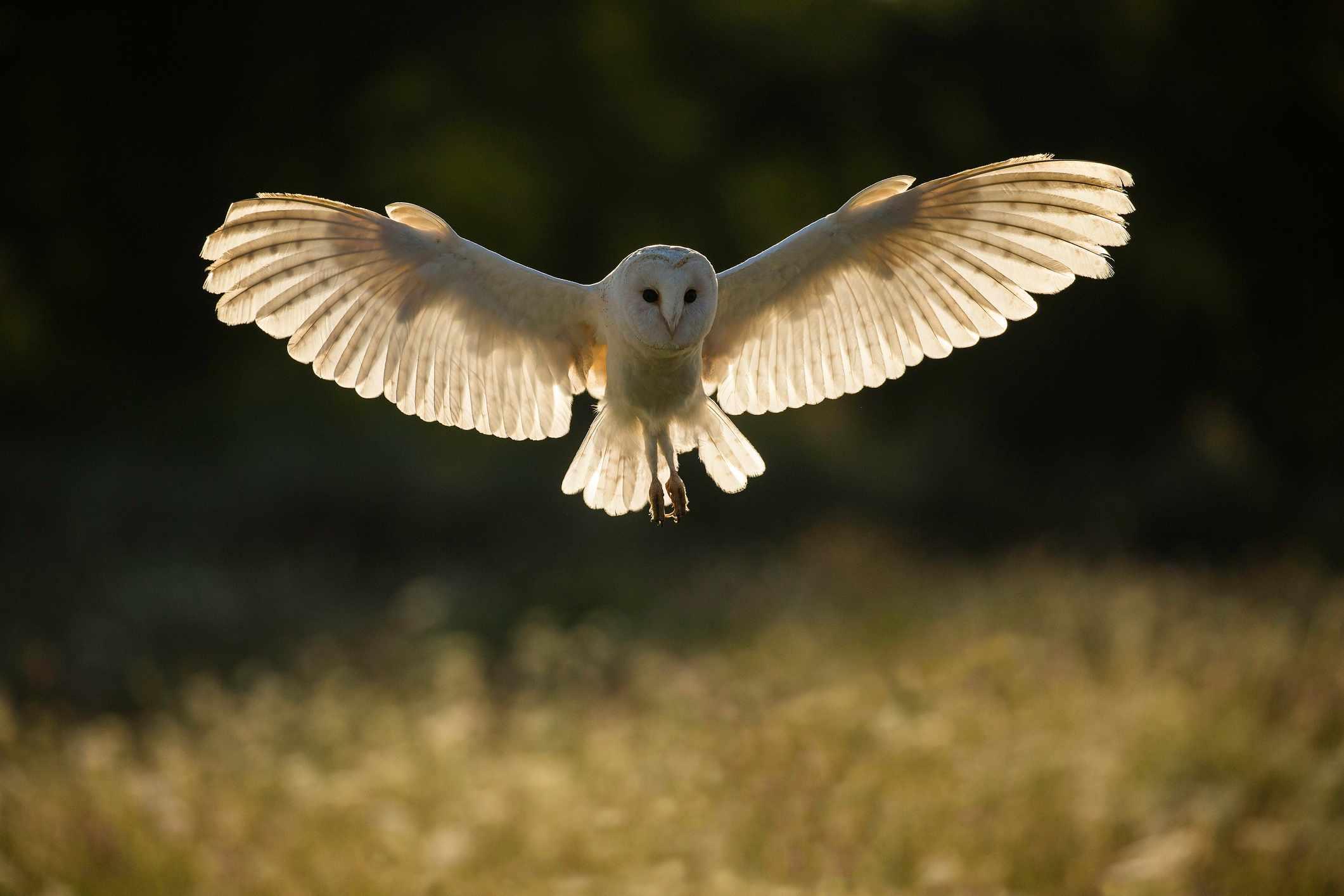 Barn owl (Tyto alba) in flight at sunset