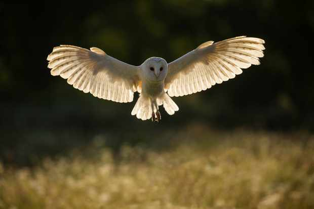 14 Amazing Barn Owl Facts Barn Owl Images Discover Wildlife