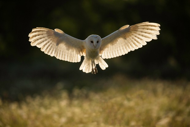 Barn Owl Guide How They Hunt And Where To See In The Uk