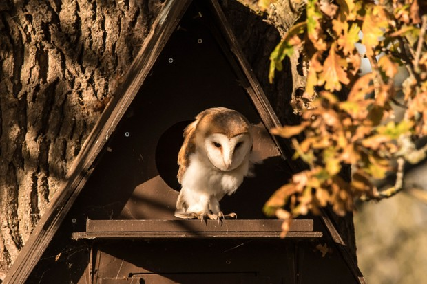 Barn owl in front of barn owl nest box