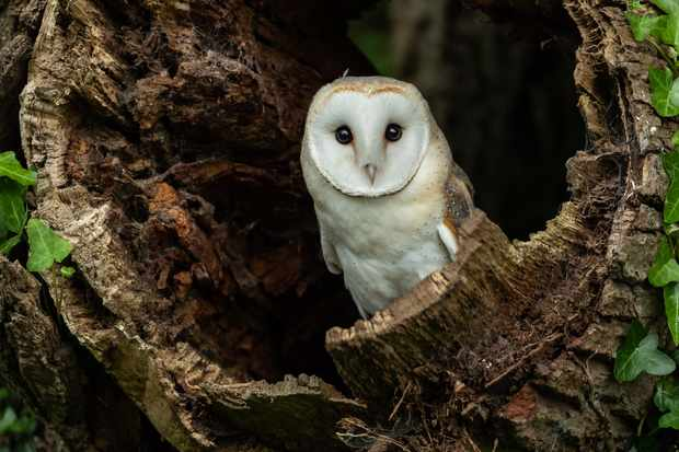 Barn owl (Tyto alba) in hollow tree