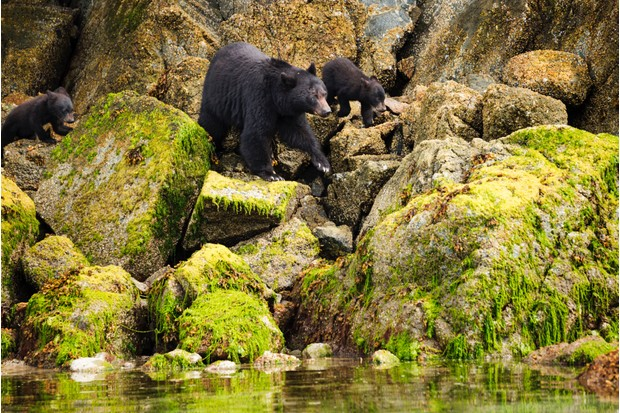 Female black bear with her two cubs, Tofino, Vancouver Island, British Columbia, Canada © wanderluster / Getty