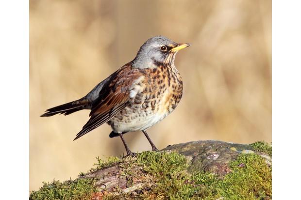 Fieldfare perched on a rock