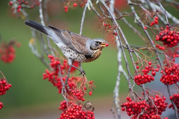 Fieldfare (Turdus pilaris) feeding on rowan berries in Scotland