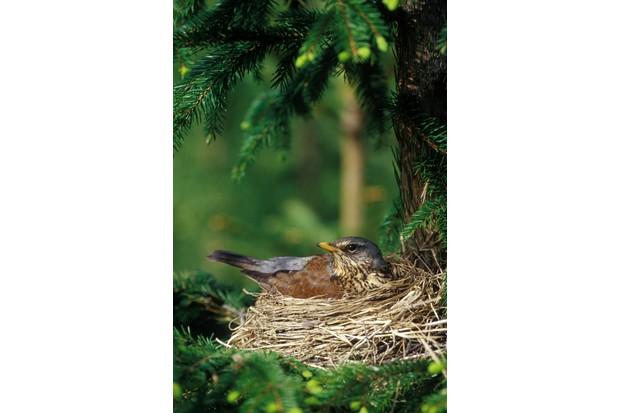 Fieldfare (Turdus pilaris) sitting on nest in conifer, Sweden