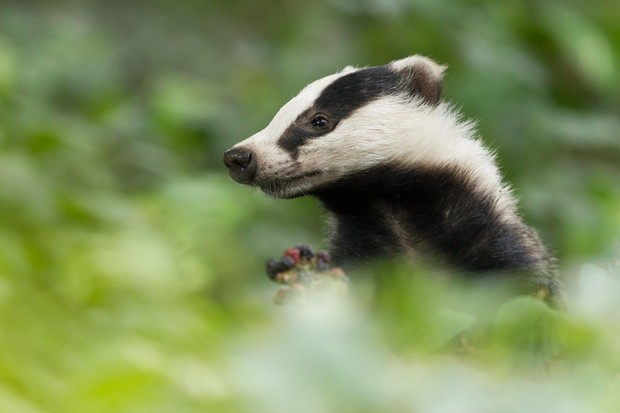 A badger taking a look around its forest home