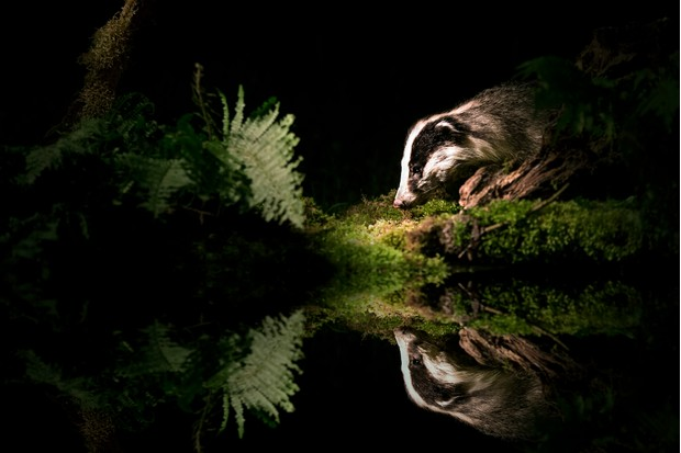 Badger coming down to a pond to drink at night.