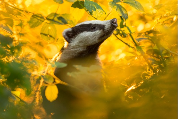 European badger (Meles meles) at sunset