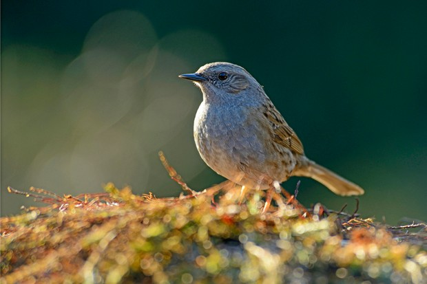 Dunnock (Prunella modularis) in Lower Saxony, Germany