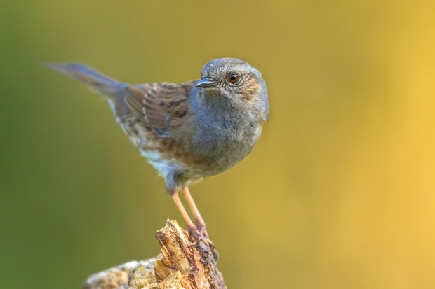 Dunnock (Prunella modularis) perched on log